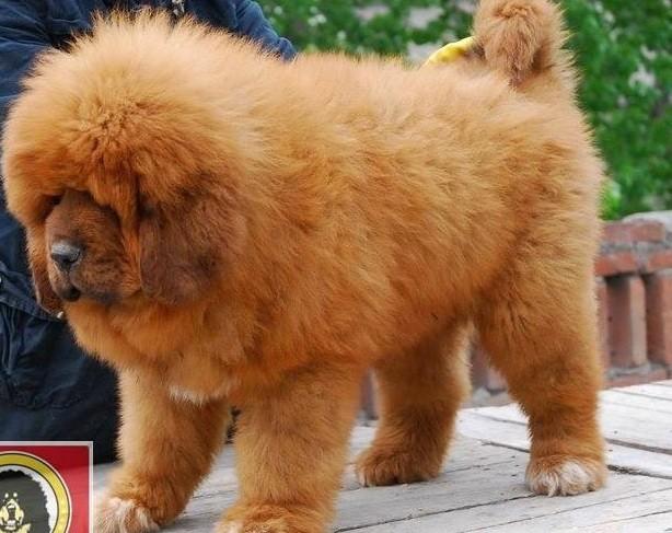 Chó Ngao Tây Tạng Giá Gần Hai Triệu Usd